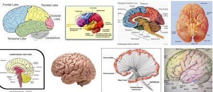 brain s