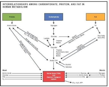 carb fat protein metabolism