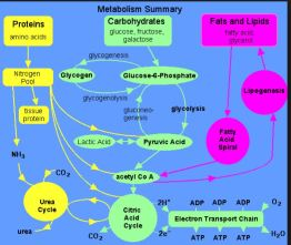 metabo physiology 2